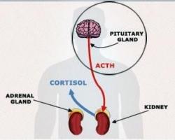 Секреция на АКТХ-кортизол